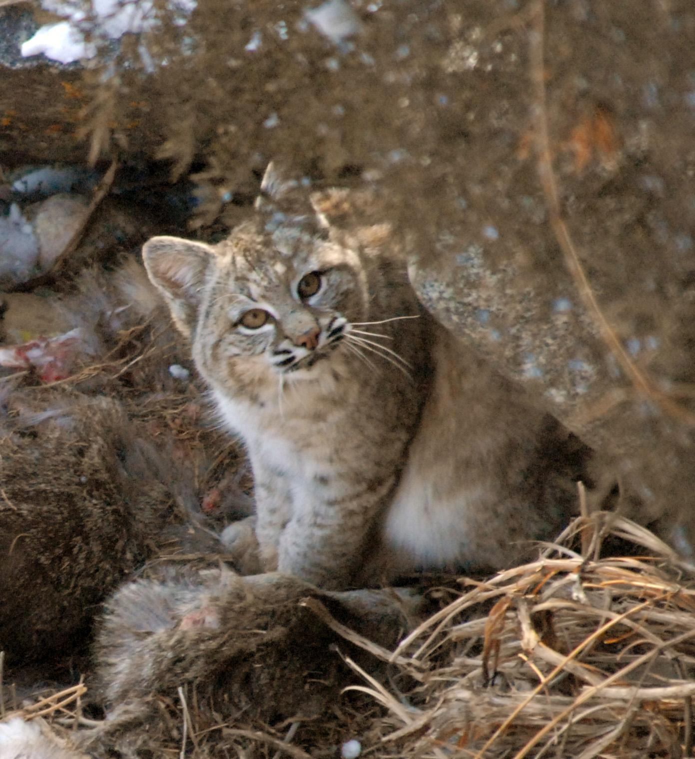 bobcat sitting 20110208_1403