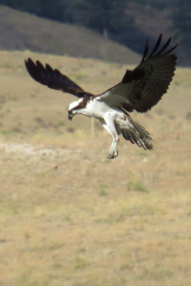 osprey IMG_1840