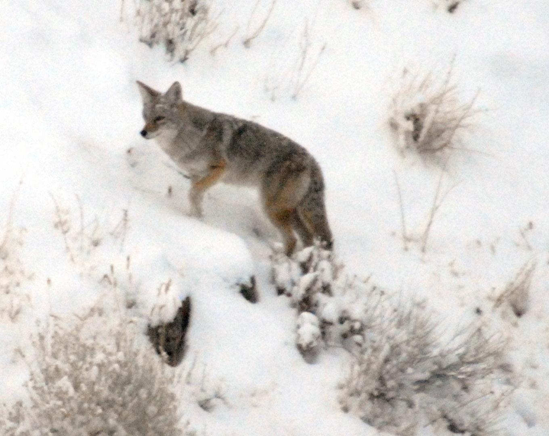 coyote on bank 20121210_4988