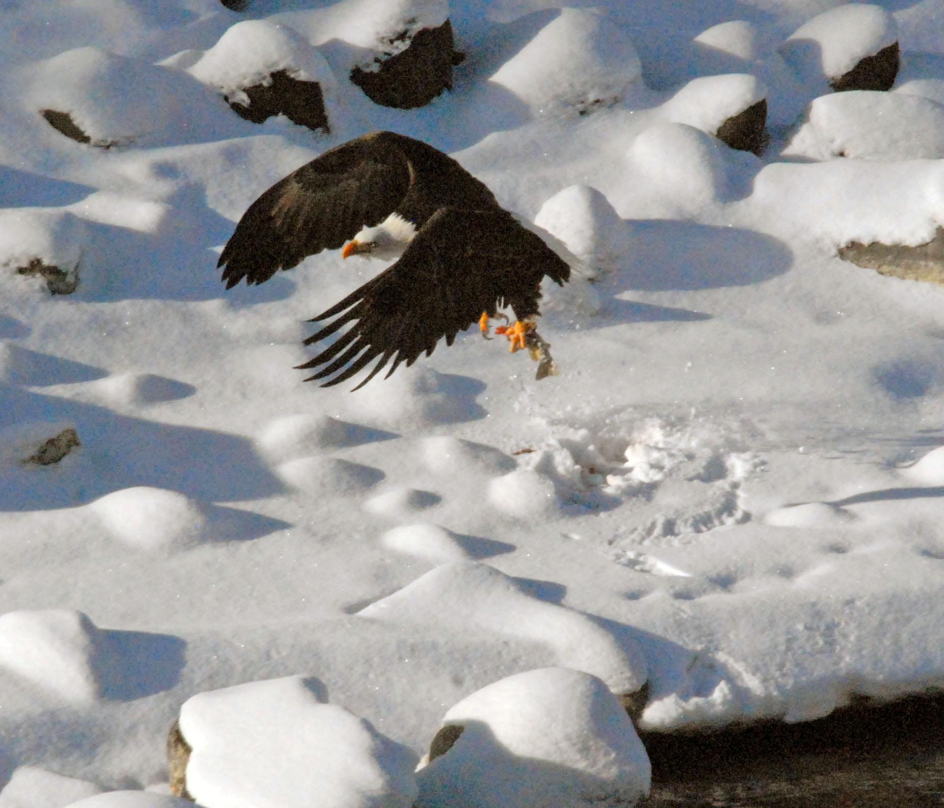 eagle with fish adj 2009 02 03 043