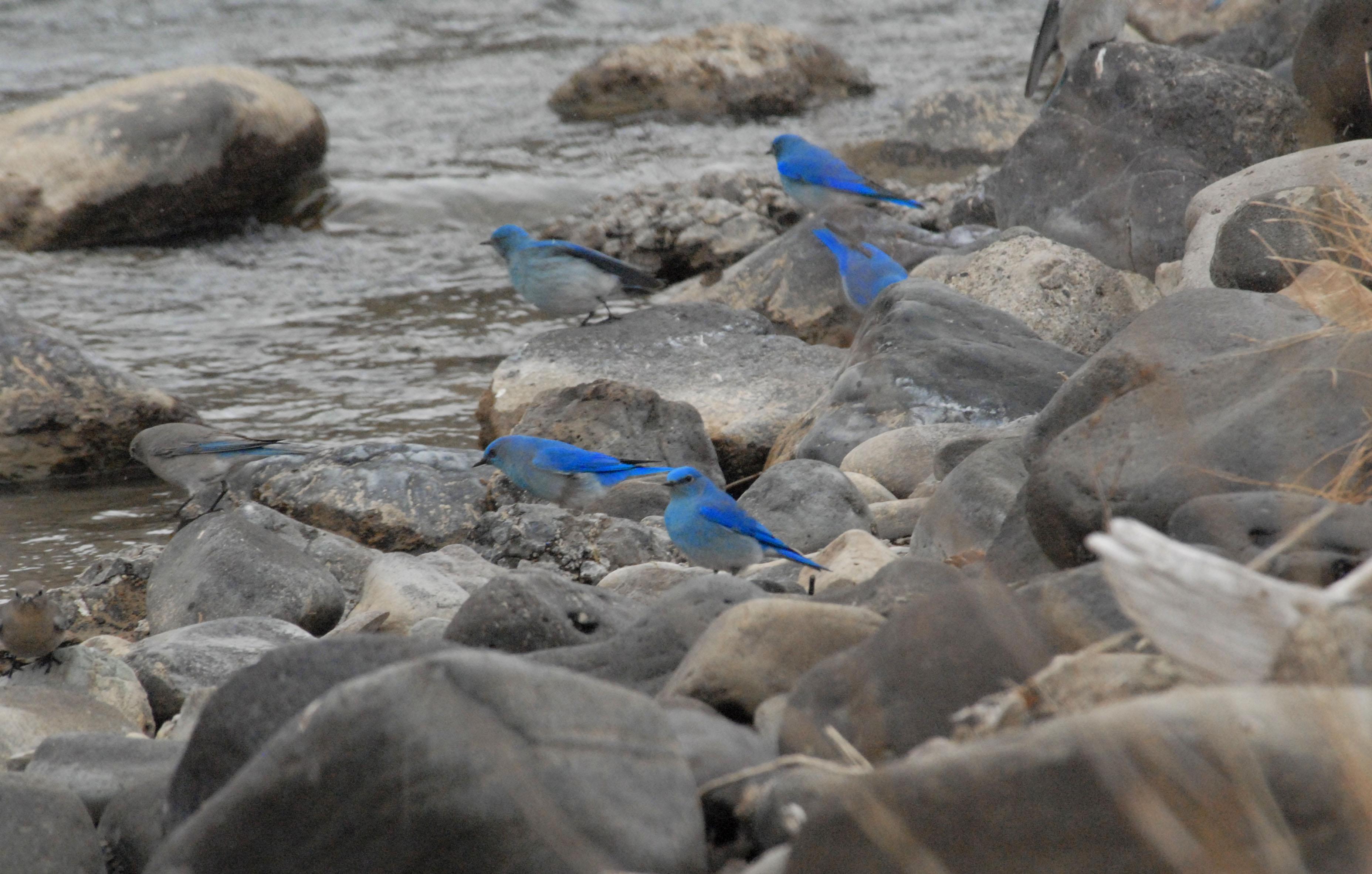 Bluebirds at Gardiner River 2009 04 03 142