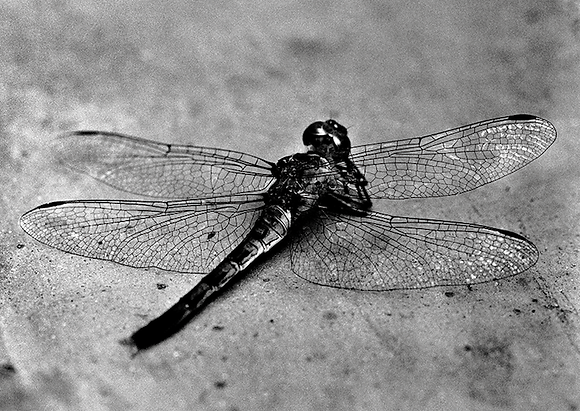 The Reading Dragon Fly