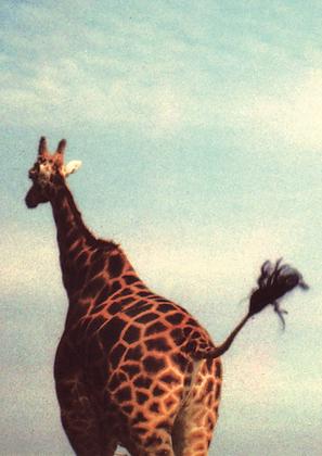 Oslo #4 Giraff