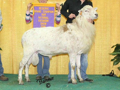 1st Fall Ram Lamb