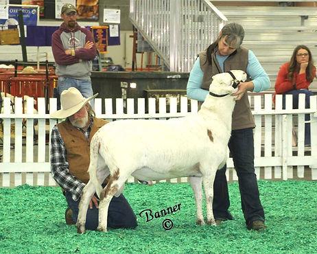 Larrick Reserve Junior Champion Ram Junior Ram Lamb 170447_edited.jpg
