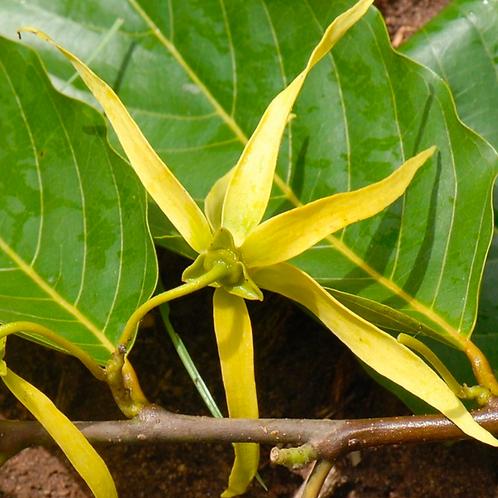 Ylang Ylang Essential Oil Madagascar - 15 ml