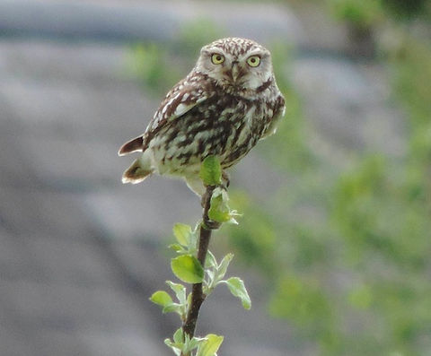little_owl_600_pix.jpg