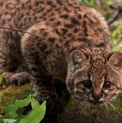 conaf-lamenta-muerte-de-felino-nativo-en