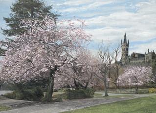 Cherry Blossom, Kelvingrove Park