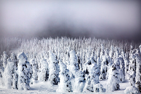 Big white Ghost trees