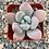 "Thumbnail: Graptoveria Opalina, 2"" Succulents"