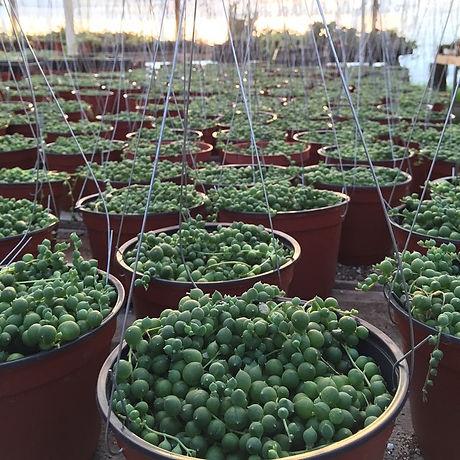 Taking root #stringofpearls #senecio #rowleyanus #succulents #hangingplants #ranchogarcianursery #cu