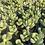 "Thumbnail: Cotyledon Tomentosa 'Bear Paws', 2"" Succulent"