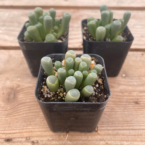 """Baby Toes, 2"""" Succulent"""