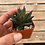 "Thumbnail: Haworthia Resendeana, 2"" Succulent"