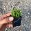 "Thumbnail: Watch Chain, 2"" Succulent"