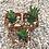 "Thumbnail: Haworthia Reinwardtii, 2"" Succulent"