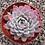 Thumbnail: Echeveria'Violet Queen', Bare Root Succulent