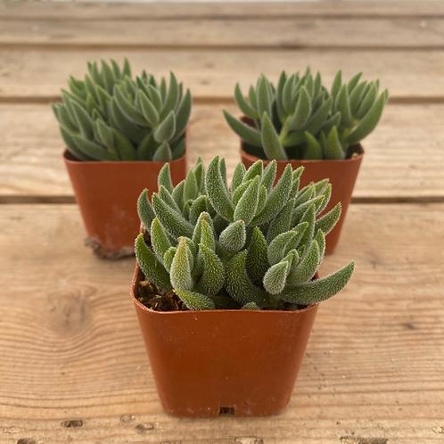 "Crassula Mesembryanthemoides, 2"" Succulent"