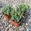 "Thumbnail: Crassula Mesembryanthemoides, 2"" Succulent"