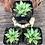 "Thumbnail: Window Haworthia - 2"" Succulent"