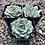 "Thumbnail: Echeveria 'Fleur Blanc', 2"" Succulent"