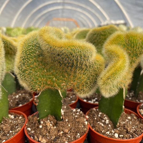 """2.5"""" Crested Rat Tail Graft"""