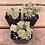 "Thumbnail: Crassula Perforata, 2"" Succulent"