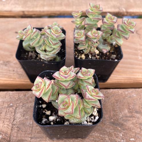 """Crassula Perforata, 2"""" Succulent"""