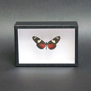 Heliconius doris in 15x10cm Handmade Frame