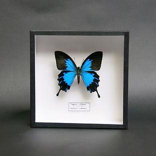 Papilio ulysses in 19x19cm Handmade Frame (Black)