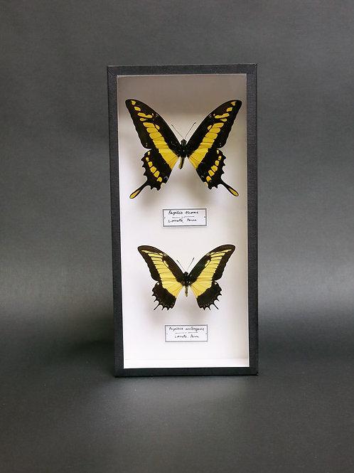 Papilio thoas and Papilio androgeus