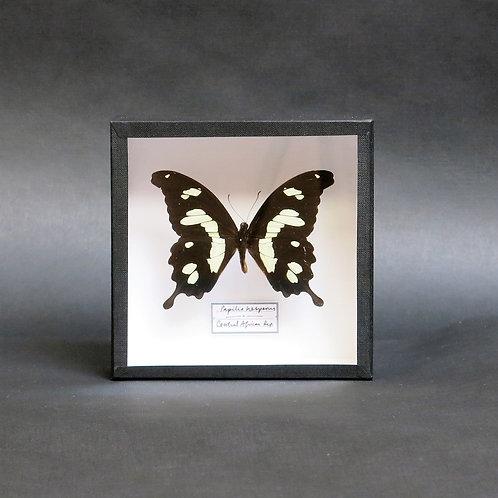 Papilio hesperus