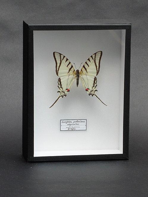 Eurytides protesilaus nigricornis