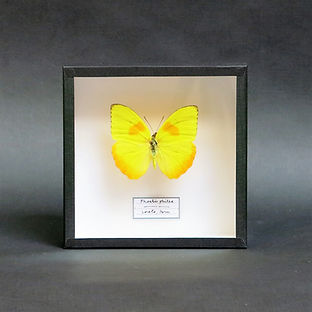 Phoebis philea in Handmade 15x15cm Shadowbox Frame