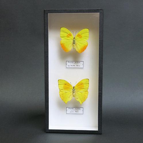 Phoebis philea and Phoebis rurina