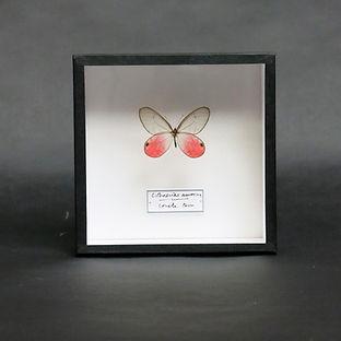 Cithaerias aurorina in Handmade 15x15cm Shadowbox Frame
