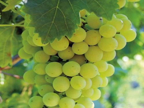 Uva senza semi bianca 500g