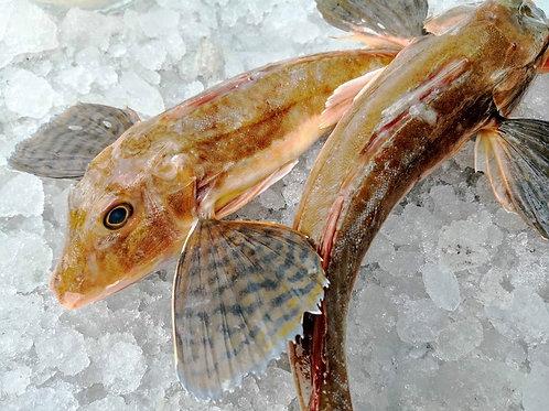 Gallinella pescato 1.2kg