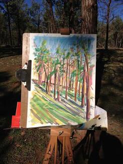 Callitris Pines near Blinman Hut