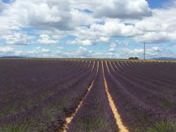 Un champs de lavande en Provence