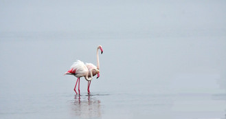 2_na_Flamingoes in the Mist_Phillip Conr