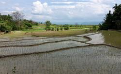 rýžová pole na ostrově Samosir