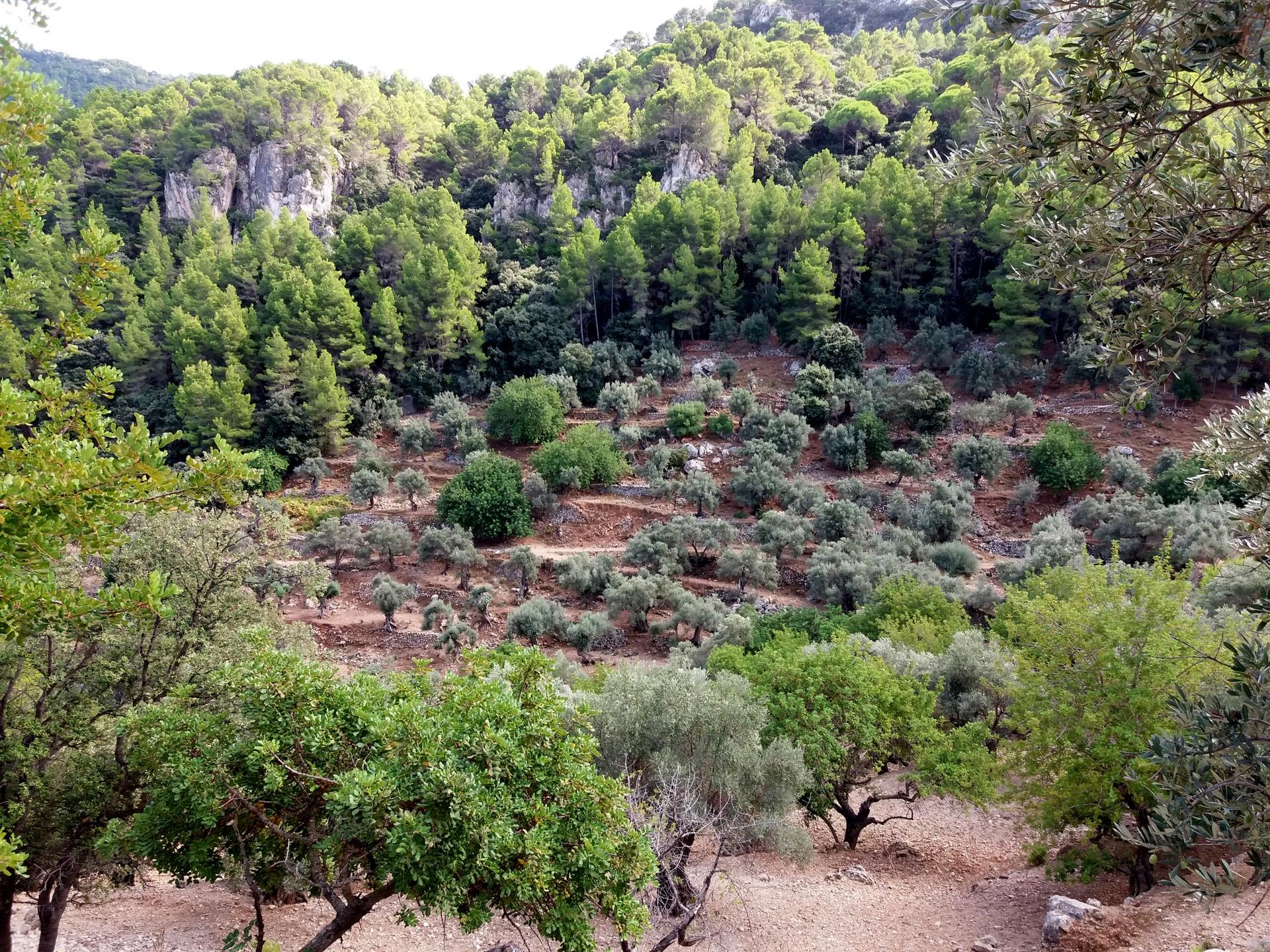 olivovníkové sady