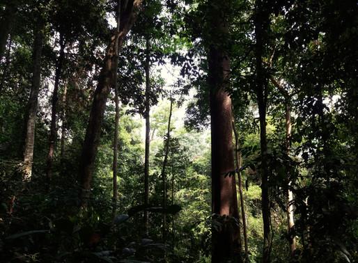 Džungle okolo Ketambe 1