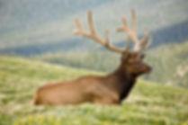 Elk Wapiti