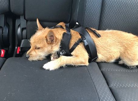 Is Your Dog Safe Riding in the Car?