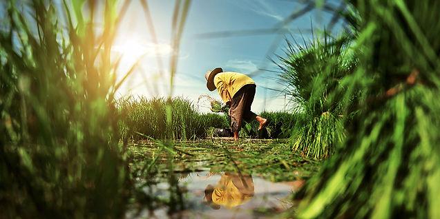 HLGK Rice harvesting
