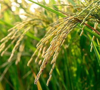 HLGK Rice grains