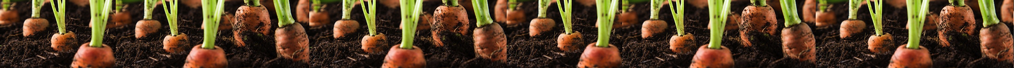 carrots in the ground 3.png